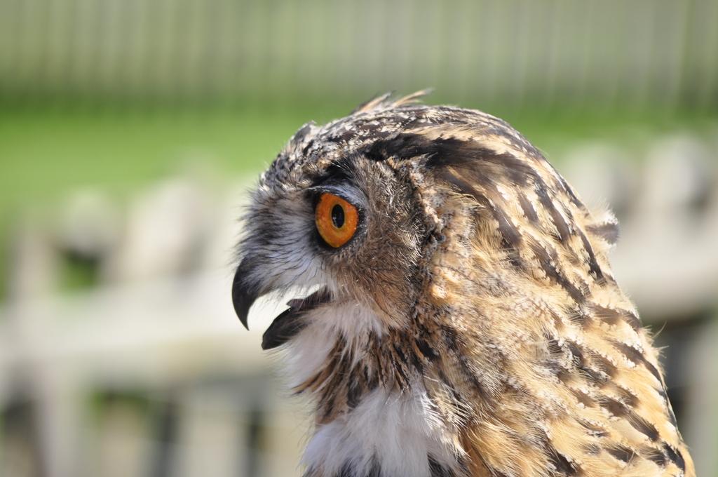 roofvogelsshow den hout 2010 (190) -