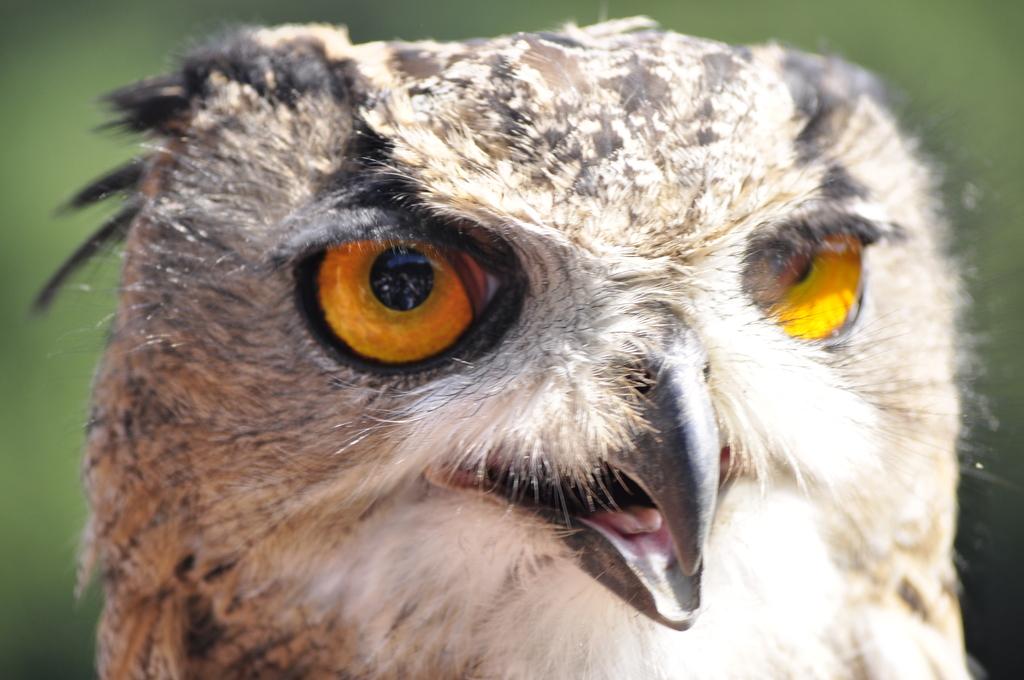 roofvogelsshow den hout 2010 (198) -