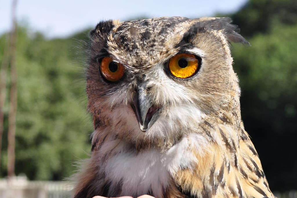 roofvogelsshow den hout 2010 (215) -