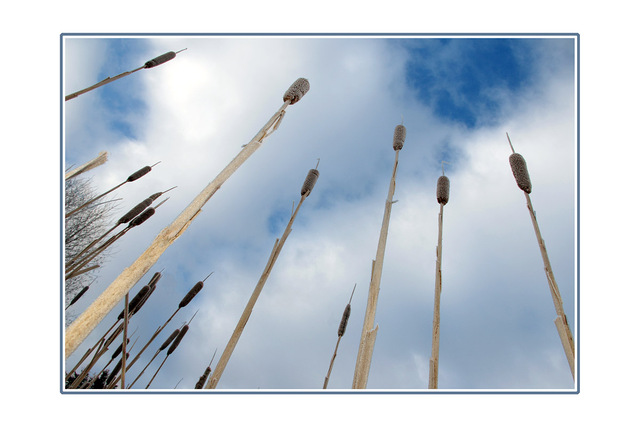cold Bullrushes Nature Images