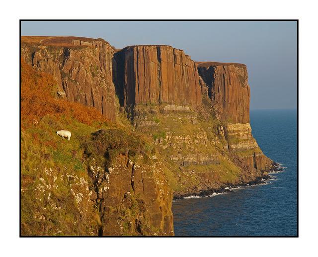 Brave Sheep of Skye Scotland