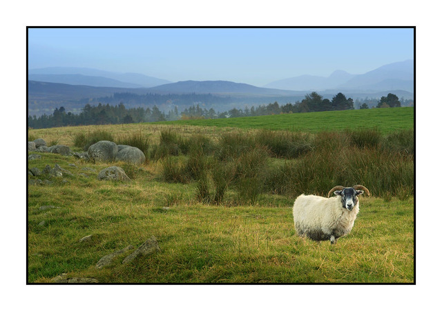 Newtonmore Sheep Scotland