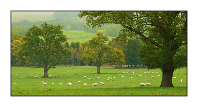 Blair Castle Sheep Scotland