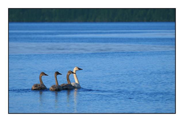 4Geese Wildlife