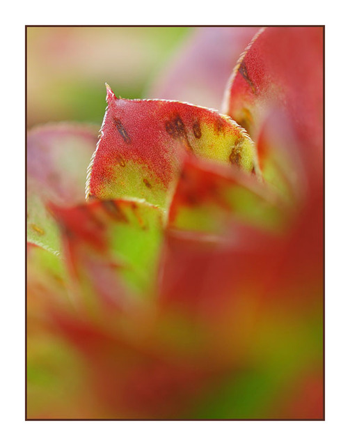 RedGreen Hens and Chicks Close-Up Photography