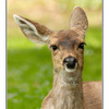 deer ear - Wildlife