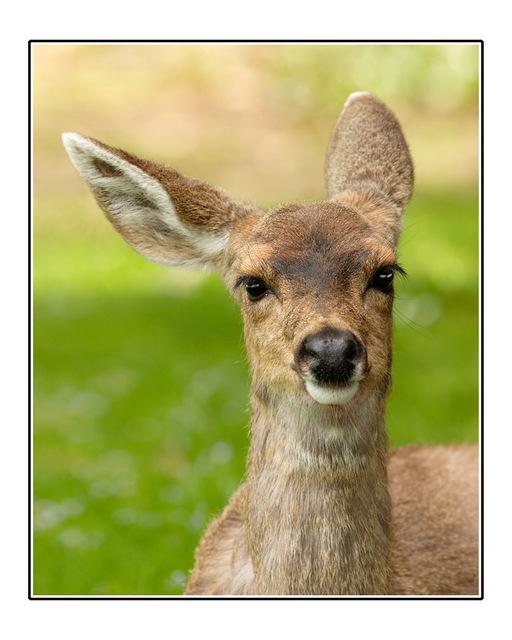 deer ear Wildlife