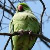 P1210876 - de vogels van amsterdam