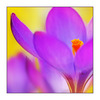 Crocus2011 - Close-Up Photography