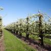 sized perenboomgaard - lente 2011