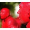 Red Heads - British Columbia Canada