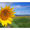 Sunflower on the Beach - Nature Images