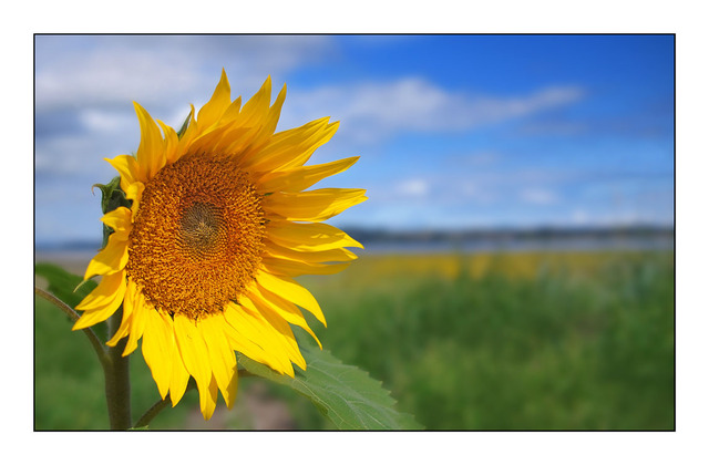Sunflower on the Beach Nature Images