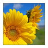 Sunflowers on the Beach - Nature Images