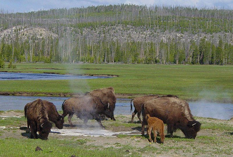 yellowstone-national-park-bison -
