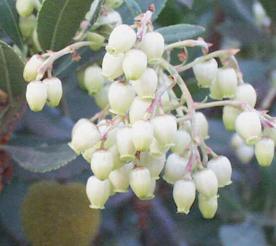 Arbutus unedo Flowers 10-25-99 9 -