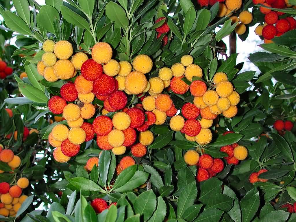 strawberry-tree-38 -
