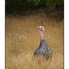 SaltSpring Ruckle Turkey - British Columbia Canada