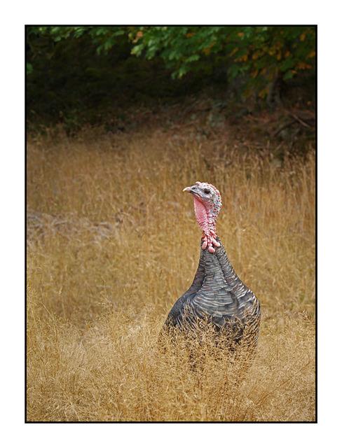 SaltSpring Ruckle Turkey - British Columbia Canada