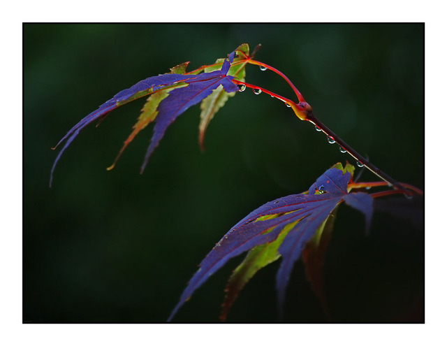 Japanese Maple Close-Up Photography