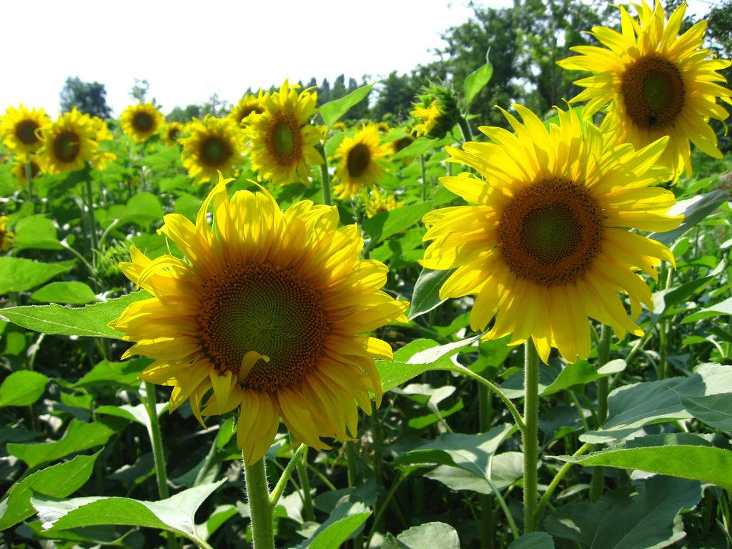 sun-flower 3306 -