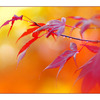 Backyard Maples 2011 - Nature Images