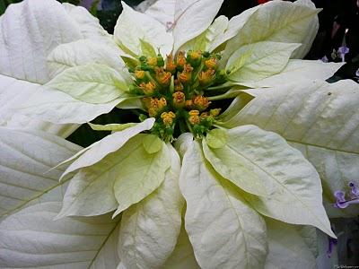 White Poinsettia[1] -