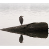 Comox Estuary Heron 02 - Wildlife
