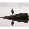 Comox Estuary Heron 02 - Wildlife