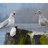 Chatting Gulls - Wildlife