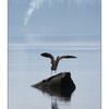 Comox Estuary Heron 01 - Wildlife