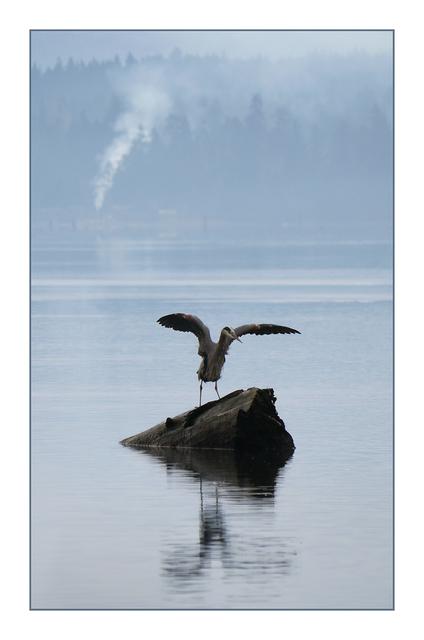 Comox Estuary Heron 01 Wildlife