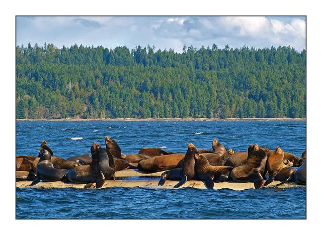 SeaLions 2012 Wildlife