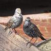 spreeuw2 - de vogels van amsterdam