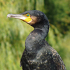 aalscholver - de vogels van amsterdam