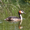 fuut bewerkt-1 - de vogels van amsterdam