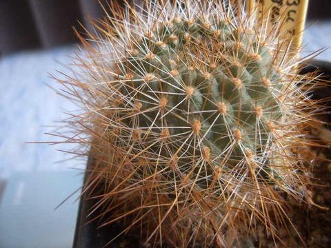 Rebutia robustispina  se141 3000 meter 06 007 cactus