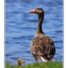 Austria Goose - Austria