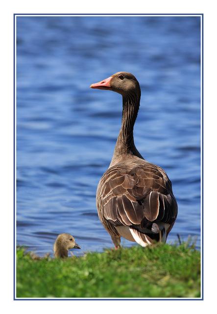 Austria Goose Austria