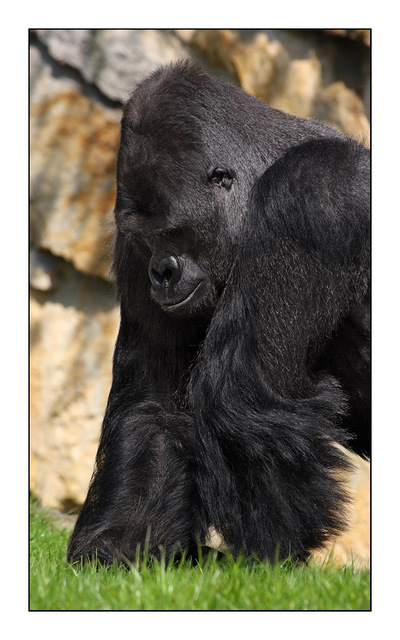 Berlin Gorilla Germany