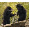Sloth Bears - Germany