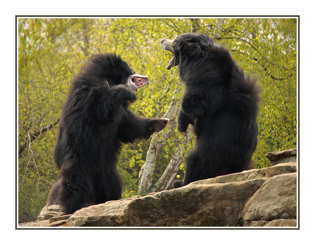 Sloth Bears Germany