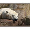 Berlin Polar Bear - Austria & Germany Panoramas