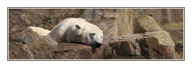 Berlin Polar Bear Austria & Germany Panoramas