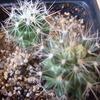 neobesseya marstonii  08 za... - cactus