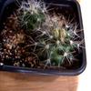 Neobesseya marstonii 126 - cactus
