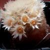 Mammillaria carmenea 97 004 - cactus