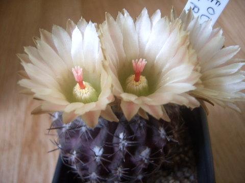 Neochilenia kraussii met bloemen 012 cactus