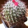 Mammillaria hofmanniana 005 - cactus