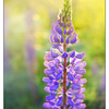 Lupin Light - Nature Images